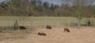 Schafherde - Schaf, Schafe, Widder, Herde, Bukolik