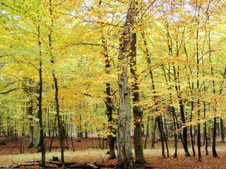 herbstlicher Buchenwald - Buche, Buchenwald, Herbst, Jahreszeit, Verfärbung, Baumstämme, Herbstfarben, Blätter, fallen, Wald, Laubbaum