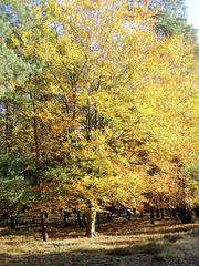 Herbstbaum Buche - Herbst, Buche, Jahreszeit, Baum, Verfärbung, Herbstfarben, Laubbaum