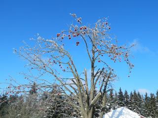 Vogelbeere im Winter#1 - Vogelbeere, Eberesche, Baum, Laubbaum, Winter, Schnee, Frost