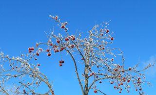 Vogelbeere im Winter#2 - Eberesche, Vogelbeere, Laubbaum, Baum, Winter, Frost, Rauhreif