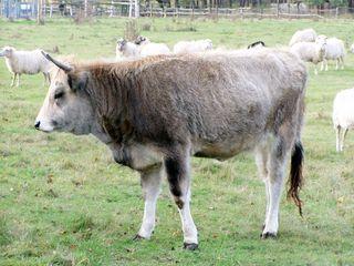 Das Rind - Rind, Haustier, Paarhufer, Wiederkäuer, Hörner, Weide, Masttier, Nutztier, Horntier, Kuh, Bulle, Färse, Kalb