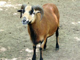 Kameruner Wildschaf - Schaf, Haustier, Zootier, meckern, Hornträger, Hörner