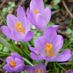 Krokusse - Krokus, Frühblüher, Frühling, Blüte, Blütenstaub, Makro, lila, Zwiebel, Schwertliliengewächs, winterhart
