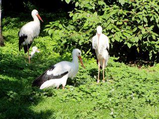 Weißstorch - Weißstorch, Storch, Vogel, Zugvogel, Schreitvogel, drei, Menge, Adebar, Vögel, Rotschnabel