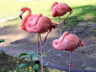 Flamingo - Flamingo, Vögel, rosa, vier, Vogel, Schnabel, Seihschnabel, Wasservogel