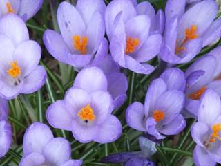 Krokusse  - Krokus, Frühblüher, Frühling, Schwertliliengewächs, winterhart, Blütenstempel