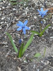 Blausternchen  - Blüte, Scilla mischtschenkoana, Blaustern, Mischtschenko-Blaustern, Kaukasisches Blausternchen, Scilla tubergeniana