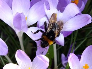 Hummel auf Krokus #2 - Bestäubung, Nahnrung, Hummel, Hautflügler, staatenbildendes Insekt, gelb-braun, Stachel, Arbeiterinnen, Drohnen, Königin, Korbblütler, groß, gelb