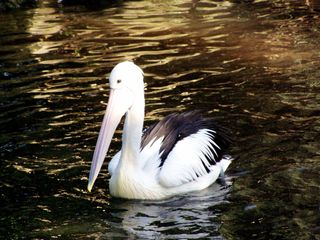 Pelikan - Pelikan, Vogel, Wasservogel, Ruderfüßer, schwimmen, Wasser, Schnabel