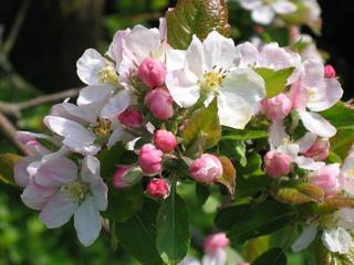 Apfelblüte  - Nutzpflanze, Garten, Gartenbau, Frühling, Apfel, Apfelblüte, Knospe, Blüte, Blütenblatt, Kronblatt, Staubblatt, fünf