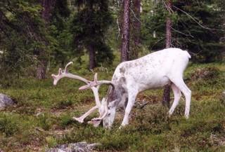 Rentier  - Natur, Tiere, Nordeuropa, Rentier, weiß, Wildtier, Ren, Nordnorwegen, Norwegen, Rentiere, Geweih