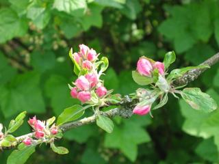 Apfelblüte - Nutzpflanze, Garten, Gartenbau, Frühling, Apfel, Apfelblüte, Knospe, Blüte, Blütenblatt
