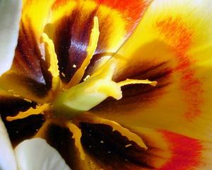 Tulpe Serie #3 - Tulpe, Stempel, Blüte, Frühling, Frühjahr, Staubblätter, Frühblüher