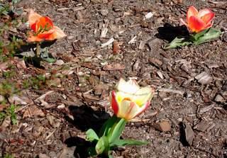 Tulpe Serie #5 - Tulpe, Tulpen, drei, Rindenmulch, Frühling, Frühjahr, blühen, Blüte, Frühblüher