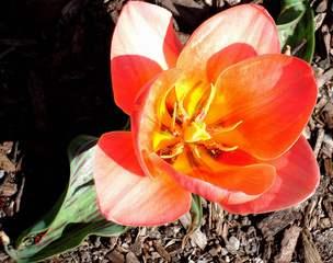 Tulpe Serie #7 - Tulpe, Blüte, blühen, Stempel, Staubblätter, Staubblatt, Frühling, Frühjahr, Frühblüher