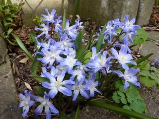 Blaustern - Blüte, Scilla mischtschenkoana, Blaustern, Mischtschenko-Blaustern, Kaukasisches Blausternchen, Scilla tubergeniana