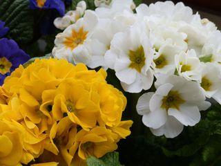Blütenstand der Primel - Primel, Blüte, blühen, gelb, weiß, Frühblüher, Frühling