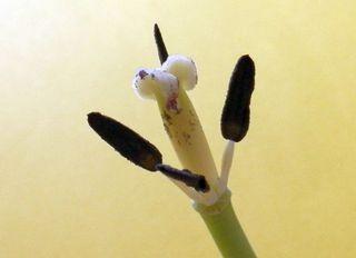 Rest einer Tulpenblüte - Stempel  - Stempel, Narbe, Griffel, Fruchtknoten, Samenanlage, Tulpe, Blütenrest