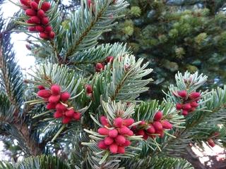Fichte#2 - Fichte, Gemeine Fichte, Kieferngewächs, Nadelbaum, immergrün, Nadeln, Blüten, Blütenknospen