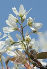 Felsenbirne blühend #1 - Amelanchier lamarckii, Blüte, Blütenstand, weiß, Rosaceae, Rosengewächs, Blütenbecher, Zierstrauch, Heilpflanze