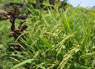 Reis2 - Reis, Rispe, Reispflanze, Grundnahrungsmittel, Nahrungsmittel, Getreide