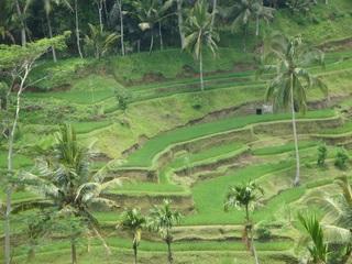 Reis-Terrassen1 - Reisterassen, Reis, Rispe, Reispflanze, Grundnahrungsmittel, Nahrungsmittel, Getreide