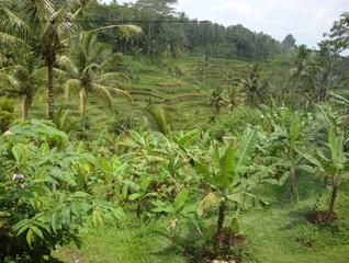 Reis-Terrassen2 - Reisterassen, Reis, Rispe, Reispflanze, Grundnahrungsmittel, Nahrungsmittel, Getreide