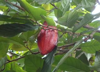 Kakaofrucht - Pflanzen, Biologie, Asien, Bali, Kakao, Kakaobohne, Schokolade, Tropen, Südostasien, Indonesien