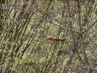 Eichhörnchen - Eichhörnchen, Nagetier, Eichkätzchen, Eichkater, Katteker, Baumbewohner, Einzelgänger, Allesfresser, klettern, springen, Äste, Zweige, tagaktiv