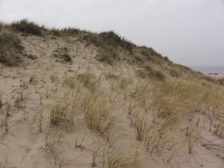 Strandhafer - Strandhafer, Strandbepflanzung, Küstenschutz, Düne, Sylt, Nordsee, Nordseeküste, Sturm, Sand
