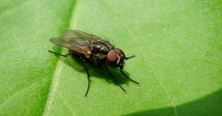 Stubenfliege - Fliege, Stubenfliege, Hautflügel, Netzaugen, Facettenaugen, Hygiene, Rüssel