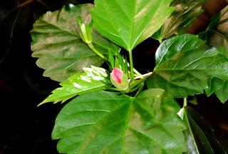 Knospe des Hibiskus - Knospe, Hibiskus, Pflanze, grün, Blatt, Eibisch, krautig