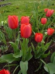Rote Tulpen - Tulpen, rot, Kontrast, Farbkontrast, Komplementärkontrast, Frühling, Frühblüher