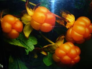 Moltebeere - Rosengewächs, Beere, Skandinavien, rot, orange, Weingummi, Marmelade, Likör, Multebeere, Sumpfbeere