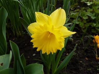 Osterglocke - Frühling, Frühblüher, Zwiebelgewächs, blühen, Blüte, gelb, Narzisse, Osterglocke, Garten, Narzissen, Schnittblume, Stempel, Blütenblätter, Staubgefäße