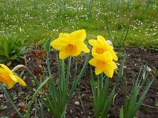 Osterglocken - Frühling, Frühblüher, Zwiebelgewächs, blühen, Blüte, gelb, Narzisse, Osterglocke, Garten, Narzissen, Schnittblume, Stempel, Blütenblätter, Staubgefäße