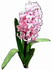 Hyazinthe - Hyazinthe, Frühblüher, Zwiebelgewächs, Frühling, Frühjahr