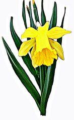 Osterglocke - Narzisse, daffodils, gelb, yellow, flowers, Blumen, Frühblüher, Frühling, Frühjahr, Zwiebelgewächs, blühen, Blüte, gelb, Osterglocke, Garten