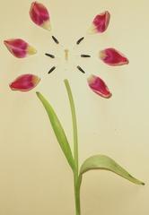 Tulpe #3 - Tulpe, Blüte, Tulpenblüte, blühen, Kontrast, magenta, rosa, Stempel, Staubgefäß