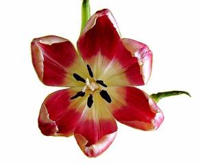 Tulpenblüte #4 - Tulpe, Blüte, Tulpenblüte, blühen, Kontrast, magenta, rosa, Stempel, Staubgefäß