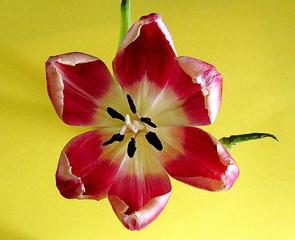 Tulpenblüte weit aufgeblüht - Tulpe, Blüte, Tulpenblüte, blühen, Kontrast, magenta, rosa, Stempel, Staubgefäß