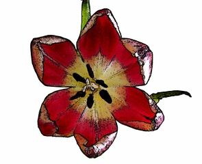Tulpenblüte Cartoon - Tulpe, Blüte, Tulpenblüte, blühen, Kontrast, magenta, rosa, Stempel, Staubgefäß
