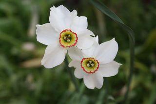 Narzissenblüte - Narcissus, Frühblüher, Blüte, Gartenpflanze, Blume, Zwiebelpflanze