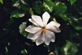 Blüte eines Gardenia-Strauches - weiße Blüte, Blätter, Gardenia, Gardenie, tropisch, Strauch