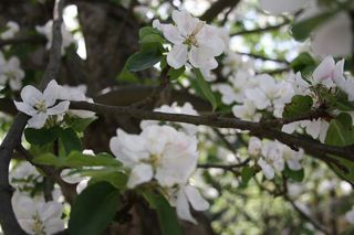 Apfelbaumblüte#1 - Nutzpflanze, Garten, Gartenbau, Frühling, Apfel, Apfelblüte, Knospe, Blüte, Blütenblatt, Kronblatt, Staubblatt, fünf