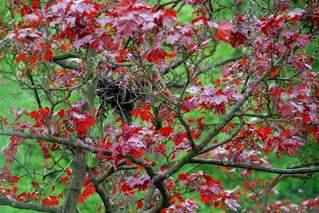 Vogelnest im Rotahorn - Vogelnest, Rotahorn, Ahorn, Nest, Kontrast, Frühling, Laubbaum