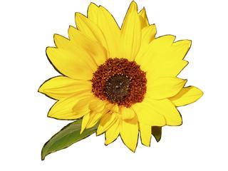 Blüte der Sonnenblume - Sonnenblume, Büte, blühen, Korbblütler, gelb