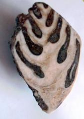 Fossil Schnecke#2 - Fossil, Schnecke, versteinert, Stein