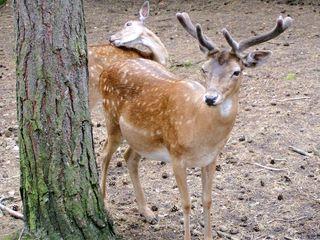 Damwild Hirsch - Hirsch, Wildtier, Damwild, heimische Tiere, Paarhufer, Wiederkäuer, Geweih, Bast, Wild